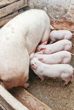 Momma pig feeding little pigs Stock Image