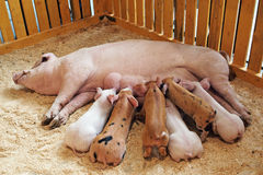 Momma pig feeding piglets