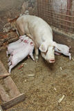 Momma pig feeding pigs in barn Stock Photo