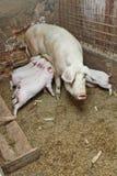 Momma pig feeding pigs in barn Stock Photo