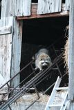 Momma Raccoon Living in the Hayloft royalty free stock photography