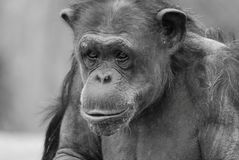 Momma rose chimp Stock Photos
