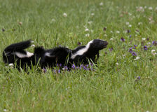 Momma Skunk with Babies Following Royalty Free Stock Photo