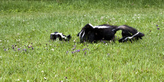 Momma Skunk carrying baby in her mouth. Mother skunk carries one baby in her mouth while the others stay nearby Stock Photos