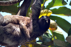 Momma Sloth and baby. Sloths living on top of the pool of a Hotel in Costa Rica Royalty Free Stock Photos