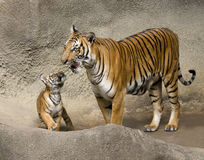 Momma Tiger with Her cub Stock Photos