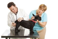 Mommas Doggy Gets a Shot. Doting dog owner comforts her Scotty while the vet gives it a shot. Isolated on white royalty free stock images