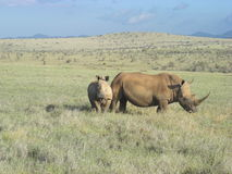 Mommy and baby rhino. Grazing the grasslands at Lewa Wildlife Conservancy in Africa Stock Photos