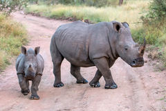 Mommy and Baby White Rhinos Royalty Free Stock Images