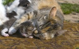 Mommy cat hugs kitten Stock Image