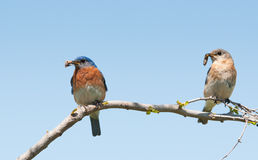 Mommy and daddy Eastern Bluebird with insects in their beaks Stock Image