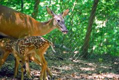 Mommy doe feeding her fawns Stock Photography
