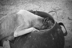 Mommy dog finding some food for kids in a bin. Black and white toned Stock Images