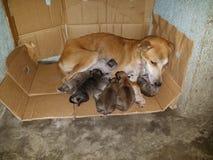 Mommy Dog Nursing Puppies stock photos