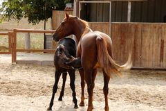 Mommy horse and baby foal royalty free stock photos
