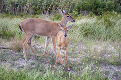 Mommy and Me. A fawn with its mother on the edge of the brush Royalty Free Stock Photo