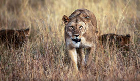 Mommy on the prowl. A lioness with cubs following her, checks out the plains for a potential meal stock images