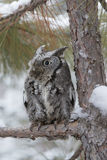Mommy. A screech owl looking up from a snow covered pine tree with his big eyes Royalty Free Stock Photography