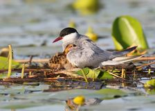 Mommy whiskered tern with a chicks under wings. Close up Royalty Free Stock Image