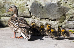 Mommy Wild duck with cute little duckling. Mommy Wild duck with pack of cute little ducklings on patio Stock Photo
