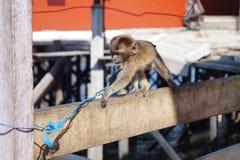 Momo小的猴子 免版税图库摄影