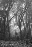 Momochrome image of a rhododendron forest on a fogy day. Scene n. Branches of rhododendrons on a fogy spring day. Scene on the way from Ghandruck to Tadapani stock photography