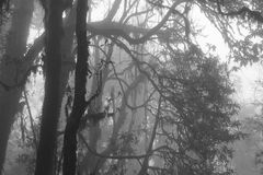 Branches of rhododendrons on a fogy spring day. Scene on the way. Momochrome image of a rhododendron forest on a fogy day. Scene near Pokhara, Nepal. Spooky stock photography