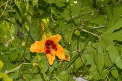 Momordica charantia maturo o melone amaro Immagine Stock