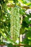 Momordica charantia often called bitter melon Stock Photo