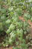 Momordica charantia, Pusa Rasdar bittergourd Stock Images