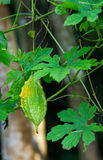 Momordica charantia on the vine. Royalty Free Stock Image