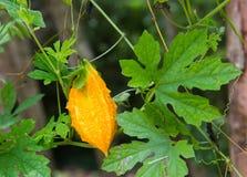 Momordica charantia on the vine. Royalty Free Stock Photo