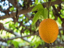Momordica hanging on a branch. Royalty Free Stock Image