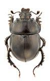 momustyphaeus Royaltyfri Fotografi