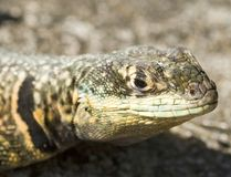 Momy Lizard Stock Image