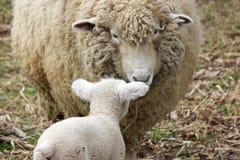 Mon agneau Image stock