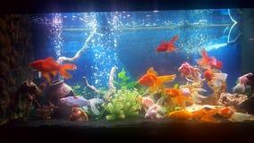 Mon aquarium avec des poissons rouges de teil de vail photo stock