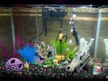 Mon aquarium de 20 poissons de gallon, plomb d'éponge, Gary, Patrick, crâne de dragon Décorations en abondance photos libres de droits