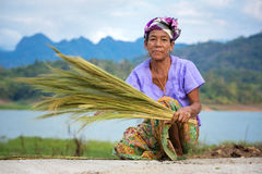 Mon ethnic woman separates seeds from rice plant Stock Image