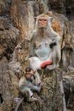 Mon i dziecko małpa Zdjęcie Royalty Free