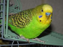 Mon oiseau DA Word sur sa cage à dire salut photos libres de droits