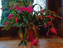 Mon petit cactus vert photo libre de droits