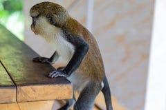Mona-Affe, der an einer Leiste hängt lizenzfreie stockfotos