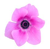 Mona lisa blush flower Stock Images