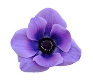 Mona lisa blush flower Royalty Free Stock Image