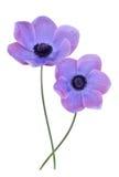 Mona lisa blush flower. Purple mona lisa blush flower isolate on white Royalty Free Stock Image