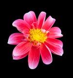 Mona lisa flower pink flower spring flower Stock Photo
