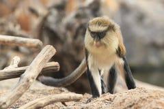 Mona monkey Royalty Free Stock Image