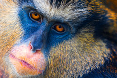 Mona Monkey Lizenzfreie Stockfotos
