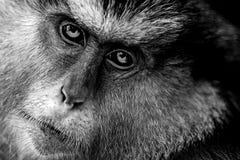 Mona Monkey. Black and white closeup - Cercopithecus mona Stock Photo